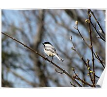 Black-Capped Chickadee (Poecile atricapilla) 1 Poster