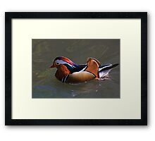 Beautiful plumage! Framed Print
