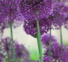 Ornamental Onion by soniarene