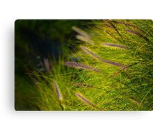 Fountain Grass, Pennisetum alopecuroides, in bloom Canvas Print