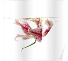 Speckled stargazer lily 6x6 - print auction READ Poster