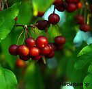 Red Crabapples by Marcia Rubin