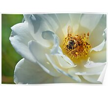 Bee on a white rose Poster
