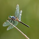 Dragonfly - Blue Dasher by Chris Heising
