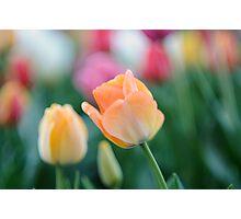 Peach beauty Photographic Print