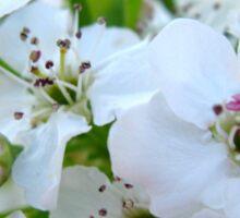 Pear Blossoms Sticker