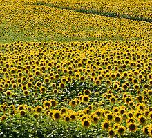 Sea Of Sunshine by sundawg7