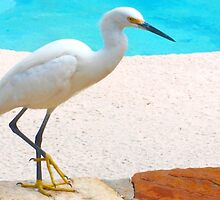 Snowy egret by pool by ♥⊱ B. Randi Bailey