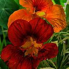 Nasturtiums by Colin Metcalf
