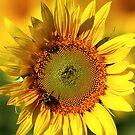 Sunburst by Rachel Stickney