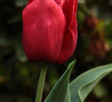 Tulip by Russell Jenkins