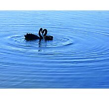 black swans in lake burley griffin Photographic Print