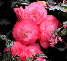 Begonia by Ian Williams