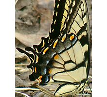Beautiful Tiger Wings Photographic Print
