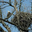 Eagle's nest by eaglewatcher4
