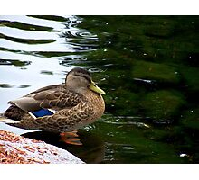 a fowl beauty-Crown Plaza pond Nashua Photographic Print