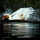 Playing pelican ( Pelicanus Rufescens) by Alan Mattison