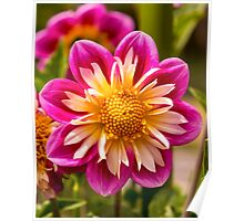 Dahlia In Bloom 2 Poster