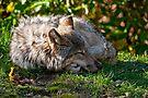 Sleeping Timber Wolf by Michael Cummings