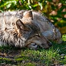 Sleeping Timber Wolf by Michael Cummings