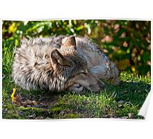 Sleeping Timber Wolf Poster