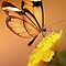 Glasswing Butterfly by Lyn Evans