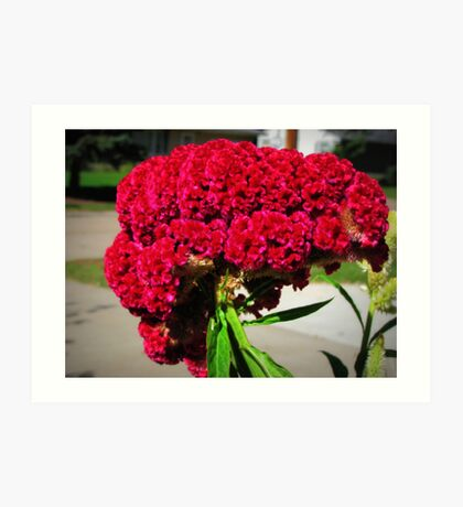 Celosia or Also Called Cocks Comb Solved Vickie Emms Art Print