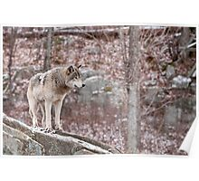 Timber Wolf on Outcropping Poster