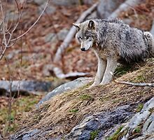 Timber Wolf sitting on Rocks by Michael Cummings