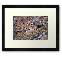 Timber Wolf sitting on Rocks Framed Print