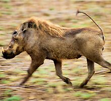 THE WARTHOG, Phacochoerus aethiopicus - The signal catcher ! by Magaret Meintjes