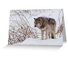 Lone Wolf - 2 Greeting Card