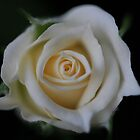 White Rose by billsimages