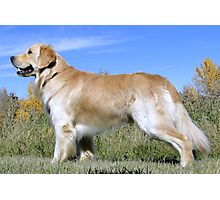 Golden Lab  - Chimo Photographic Print