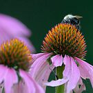 BumblebeeBum on purple coneflower by okcandids