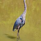 Louisiana:  Great Blue Heron by Alison M