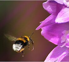 Bee  and Delphinium by hampshirelady