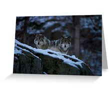 Timber Wolves In Late Evening. Greeting Card