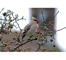 Waxwing! Photographic Print