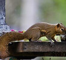 Temple Thief, Plaintain Squirrel, Callosciurus notatus by Normf
