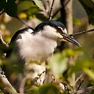 Black Crowned Night Heron by David Friederich