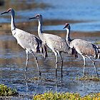 Sandhill Cranes by David Friederich