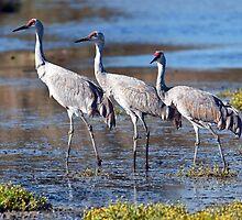 Sandhill Cranes by David Friederich