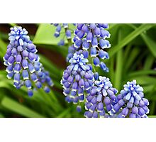 Grape Hyacinths Photographic Print
