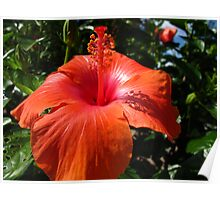 Lacquered up Hibiscus Poster