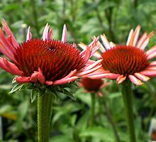 young coneflowers by Linda  Makiej
