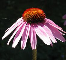 Echinacea flower by hummingbirds