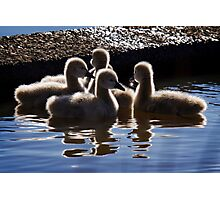 Cygnets 2.  Photographic Print