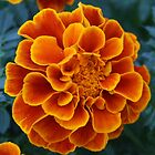 Marigold, our state flower by kneff