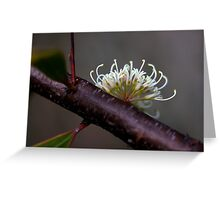 Hakea florulenta Greeting Card
